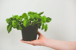 Growing basil 4