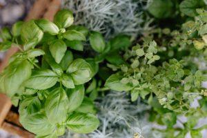 Growing basil 2